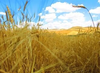 Lo studio e il colore dei campi di grano