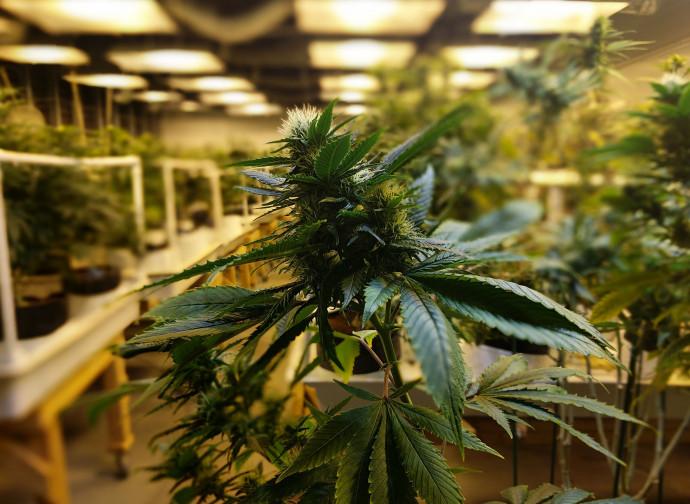 Cannabis in serra