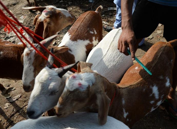 Capre vendute come animali sacrificali in India