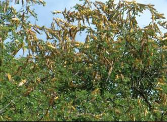 Gli sciami di locuste sono arrivati in Uganda