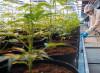 Cannabis, un tutorial sul web insegna a violare la legge