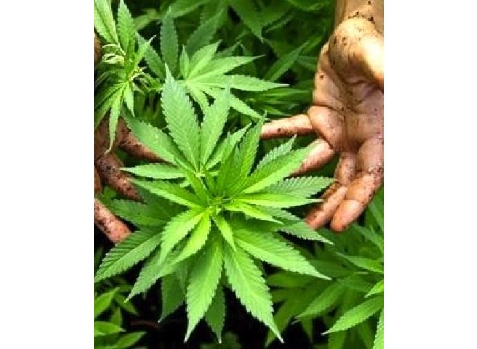 Iniziata alla Camera la discussione sulla legge di liberalizzazione della cannabis
