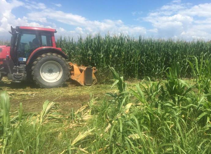 Distruzione del mais Ogm (foto di Giorgio Fidenato)