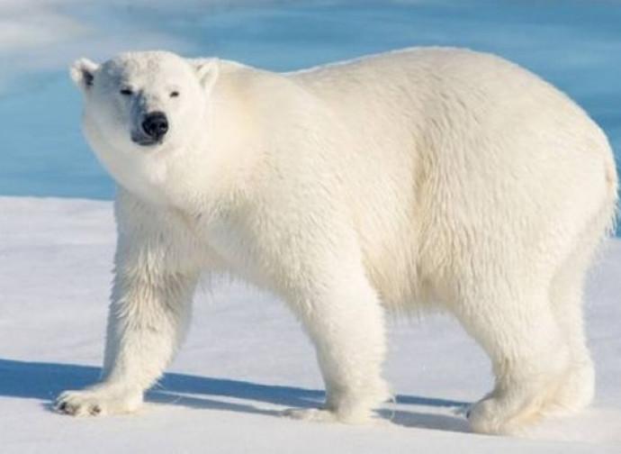 Orsi polari non si stanno estinguendo la nuova bussola quotidiana