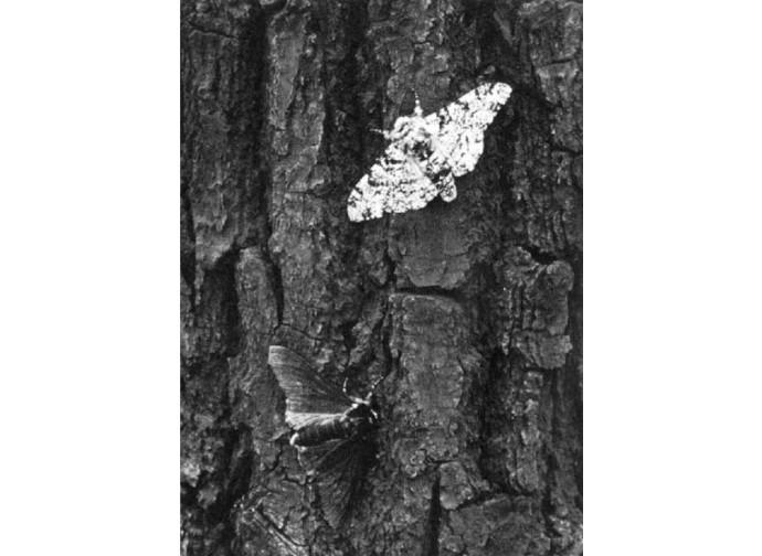 Falena punteggiata delle betulle
