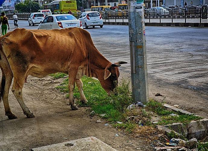 India, vacca a passeggio in città