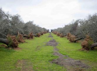 Xylella, l'ecologismo non è la cura ma parte del problema